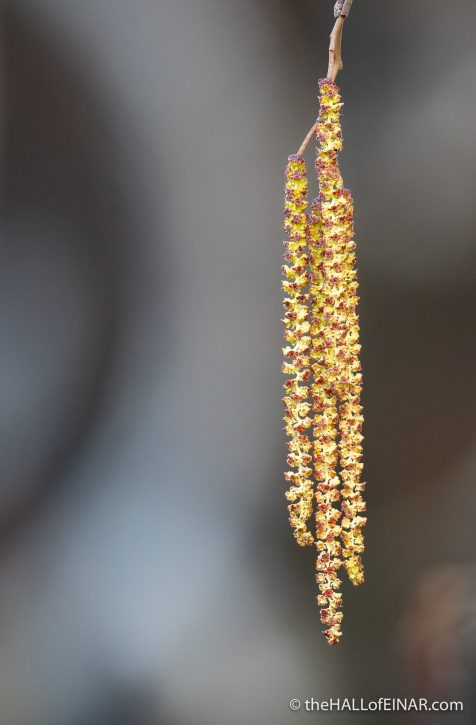 Catkins - The Hall of Einar - photograph (c) David Bailey (not the)