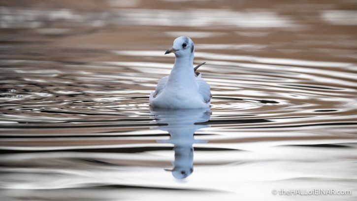 Black-Headed Gull - The Hall of Einar - photograph (c) David Bailey (not the)