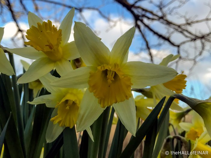 Daffodils - The Hall of Einar - photograph (c) David Bailey (not the)