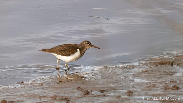 Common Sandpiper - The Hall of Einar - photograph (c) David Bailey (not the)