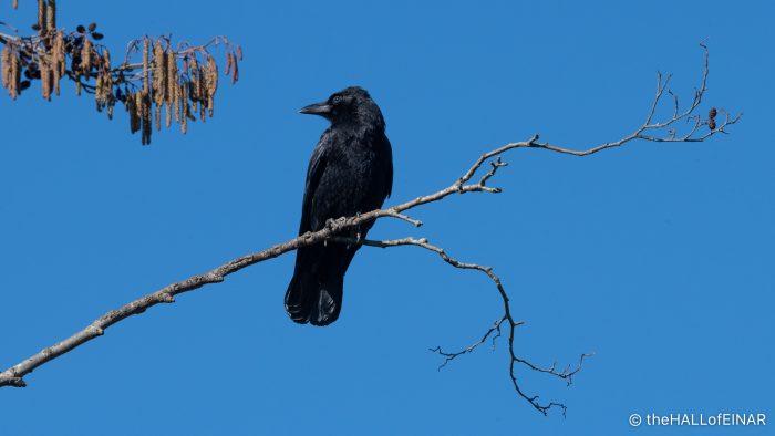 Carrion Crow - The Hall of Einar - photograph (c) David Bailey (not the)