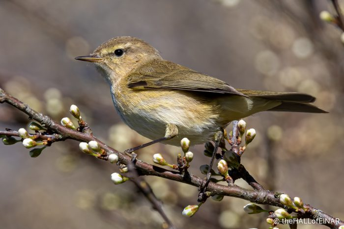 Chiffchaff - The Hall of Einar - photograph (c) David Bailey (not the)