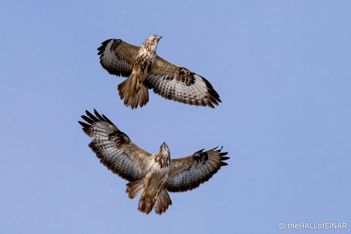 Buzzards displaying - The Hall of Einar - photograph (C) David Bailey (not the)