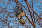 Chaffinches mating - The Hall of Einar - photograph (c) David Bailey (not the)