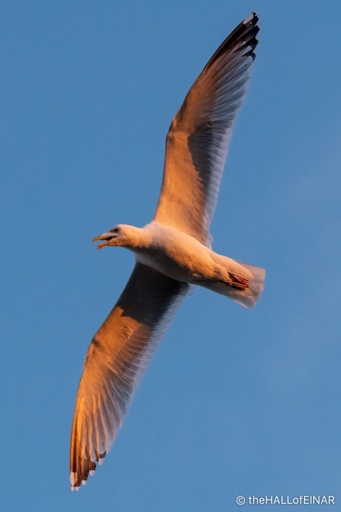 Herring Gull at Sunset - The Hall of Einar - photograph (c) David Bailey (not the)