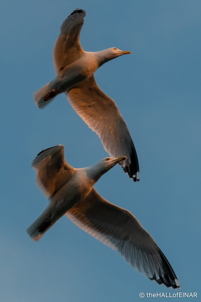 Herring Gulls at Sunset - The Hall of Einar - photograph (c) David Bailey (not the)