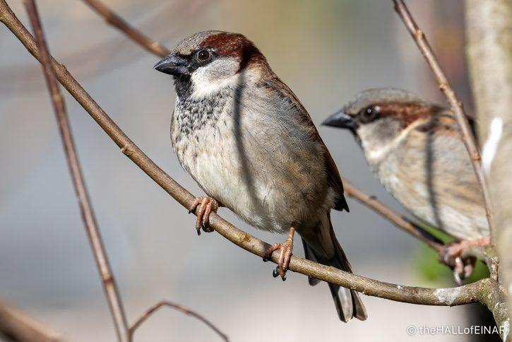 House Sparrow - The Hall of Einar - photograph (c) David Bailey (not the)