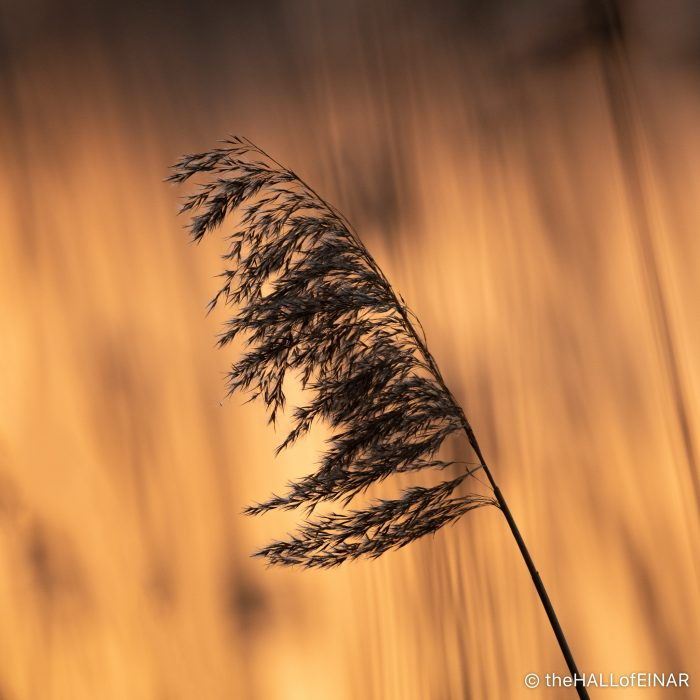 Reeds - The Hall of Einar - photograph (c) David Bailey (not the)