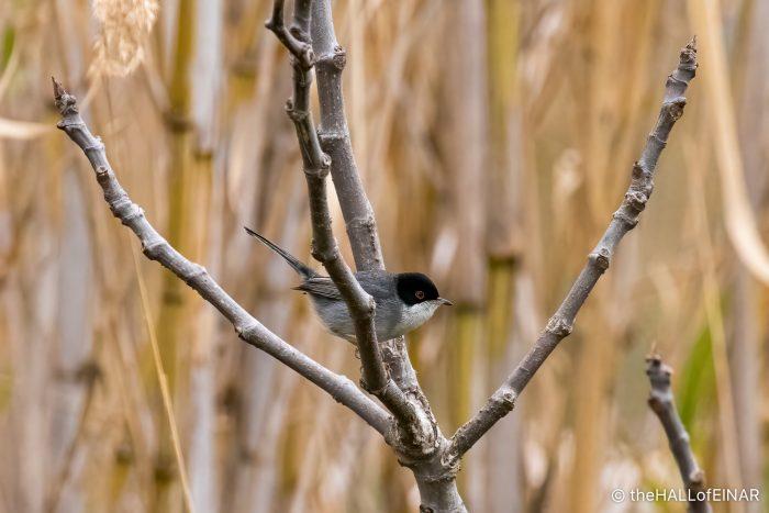 Sardinian Warbler - The Hall of Einar - photograph (c) David Bailey (not the)