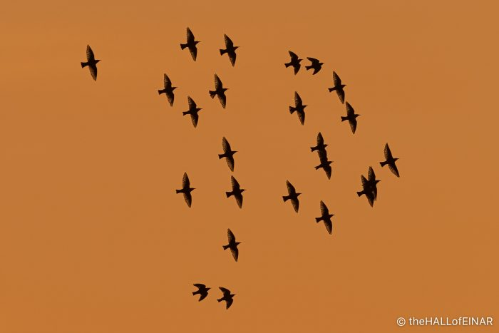 Starlings at Sunset - The Hall of Einar - photograph (c) David Bailey (not the)