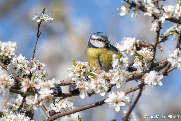 Blue Tit in Blackthorn Blossom - The Hall of Einar - photograph (c) David Bailey (not the)