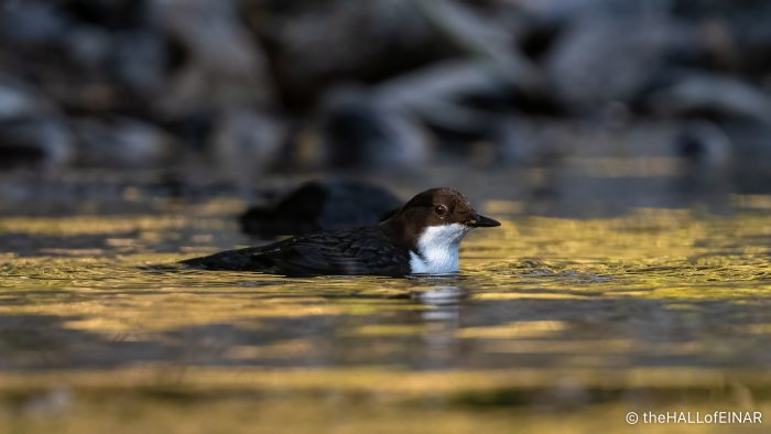 Dipper - The Hall of Einar - photograph (c) David Bailey (not the)