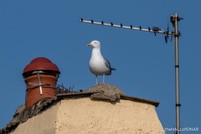 Herring Gull - The Hall of Einar - photograph (c) David Bailey (not the)