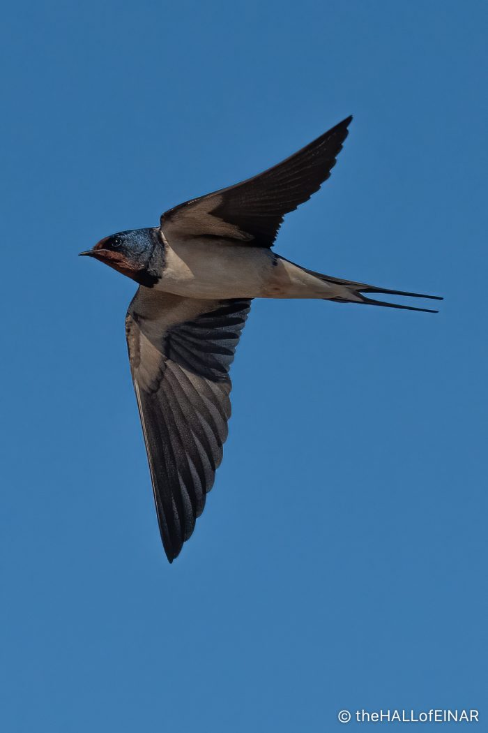 Swallow - The Hall of Einar - photograph (c) David Bailey (not the)