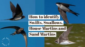 Swifts - Swallows - House Martins - Sand Martins