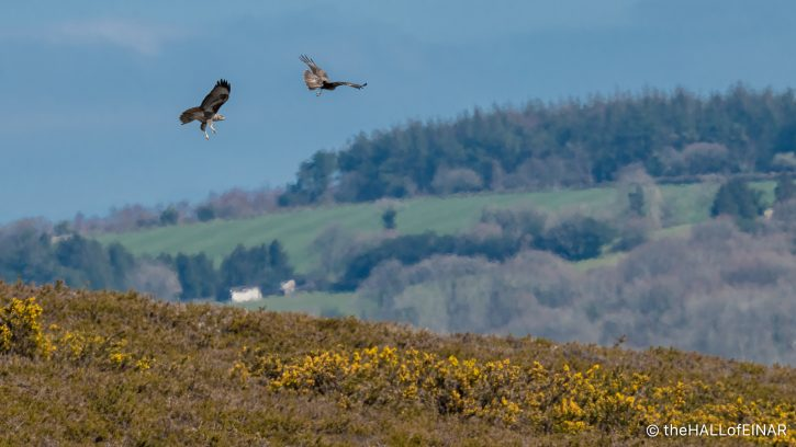 Buzzards on Trendlebere Down - The Hall of Einar - photograph (c) David Bailey (not the)