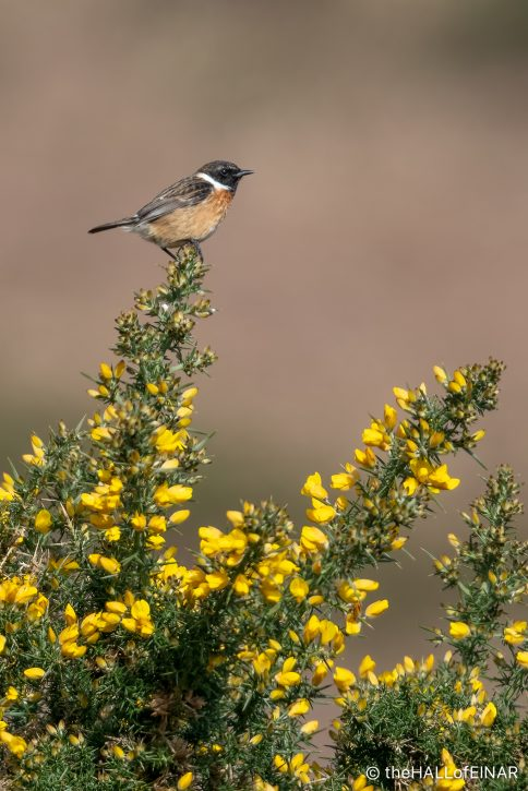 Stonechat on Trendlebere Down - The Hall of Einar - photograph (c) David Bailey (not the)