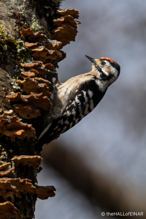 Lesser Spotted Woodpecker - The Hall of Einar - photograph (c) David Bailey (not the)