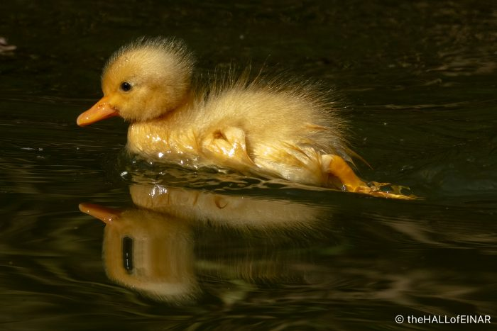 Ducklings - The Hall of Einar - photograph (c) David Bailey (not the)