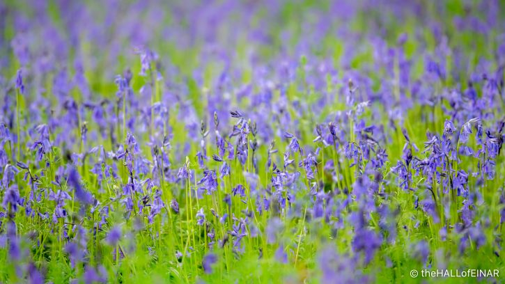 Bluebells - The Hall of Einar - photograph (c) David Bailey (not the)