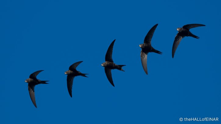 Swifts - The Hall of Einar - photograph (c) David Bailey (not the)