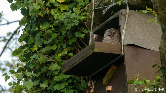 Tawny Owls - The Hall of Einar - photograph (c) David Bailey (not the)
