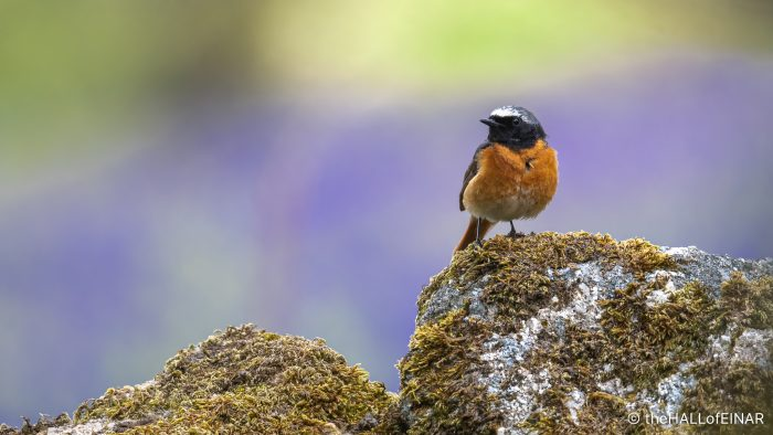Common Redstart - The Hall of Einar - photograph (c) David Bailey (not the)