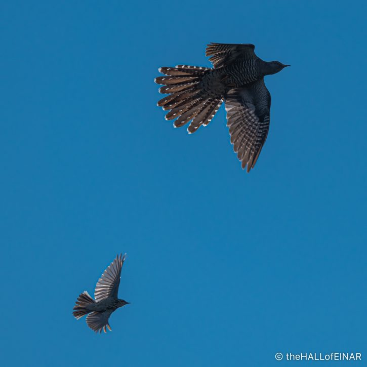 Cuckoo and Meadow Pipit - The Hall of Einar - photograph (c) David Bailey (not the)