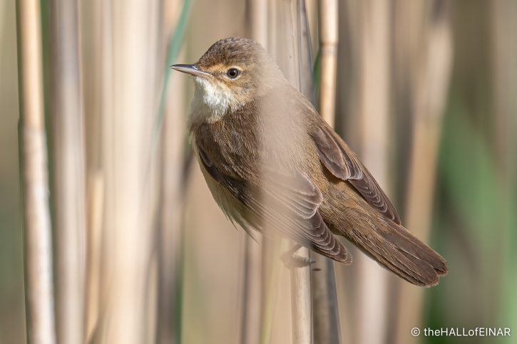 Reed Warbler - The Hall of Einar - photograph (c) David Bailey (not the)
