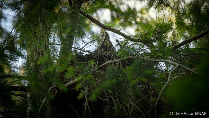 Buzzard chick - The Hall of Einar - photograph (c) David Bailey (not the)