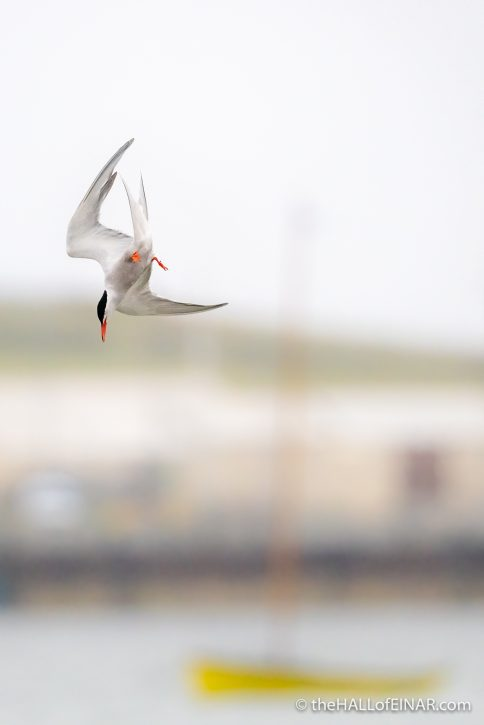 Common Tern - The Hall of Einar - photograph (c) David Bailey (not the)