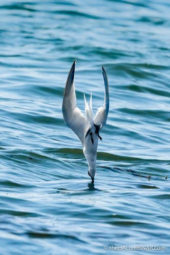 Common Tern at Bay of Tafts - The Hall of Einar - photograph (c) David Bailey (not the)