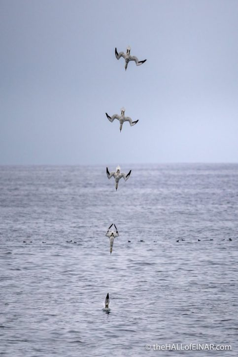 Gannet diving - The Hall of Einar - photograph (c) David Bailey (not the)