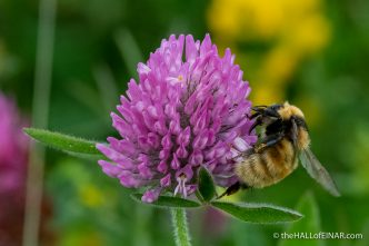 Great Yellow Bumblebee - The Hall of Einar - photograph (c) David Bailey (not the)