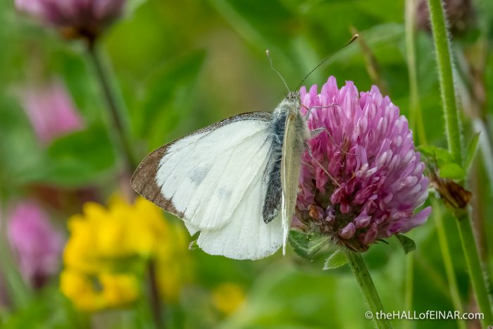 Large White Butterfly - The Hall of Einar - photograph (c) David Bailey (not the)