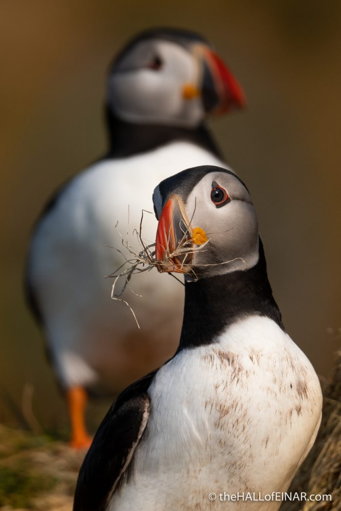 Puffin with nesting material - The Hall of Einar - photograph (c) David Bailey (not the)