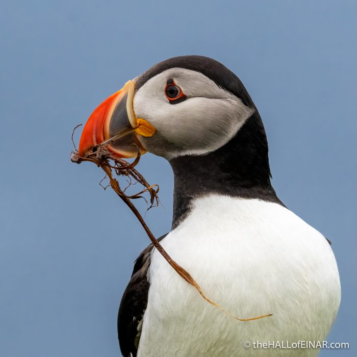 Puffin - The Hall of Einar - photograph (c) David Bailey (not the)