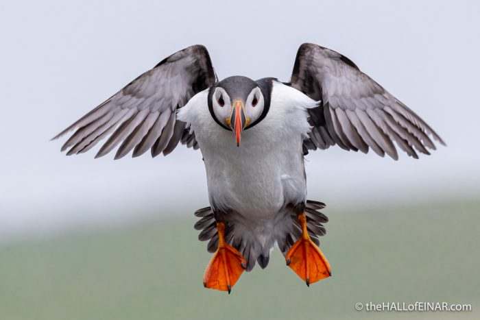 Puffin flying - The Hall of Einar - photograph (c) David Bailey (not the)