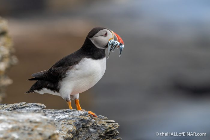 Puffin with fish - The Hall of Einar - photograph (c) David Bailey (not the)