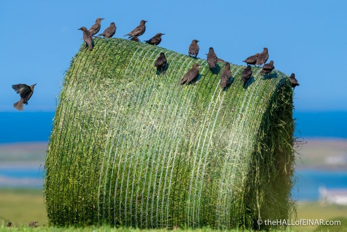Starlings on round bales - The Hall of Einar - photograph (c) David Bailey (not the)