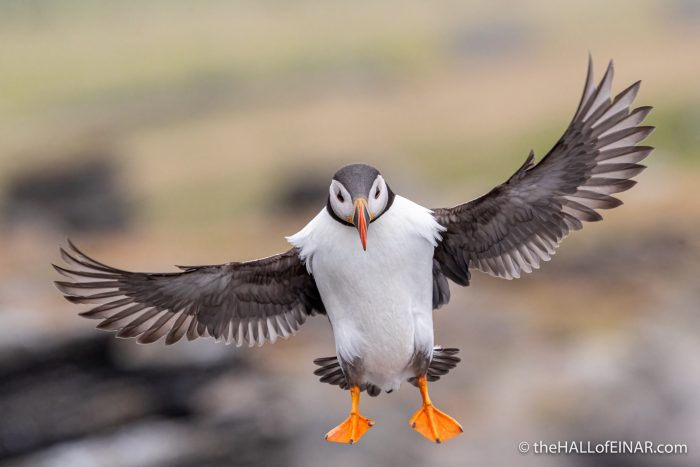 Flying Puffin - The Hall of Einar - photograph (c) David Bailey (not the)