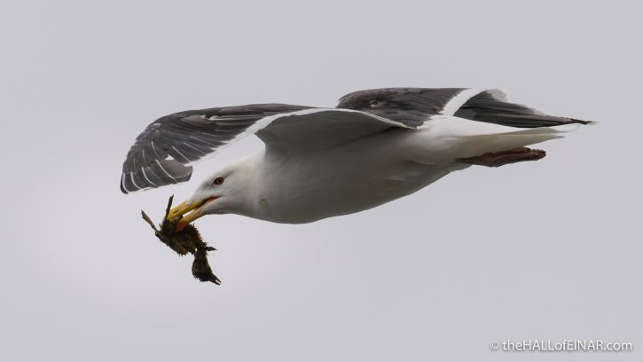 Great Black-Backed Gull - The Hall of Einar - photograph (c) David Bailey (not the)