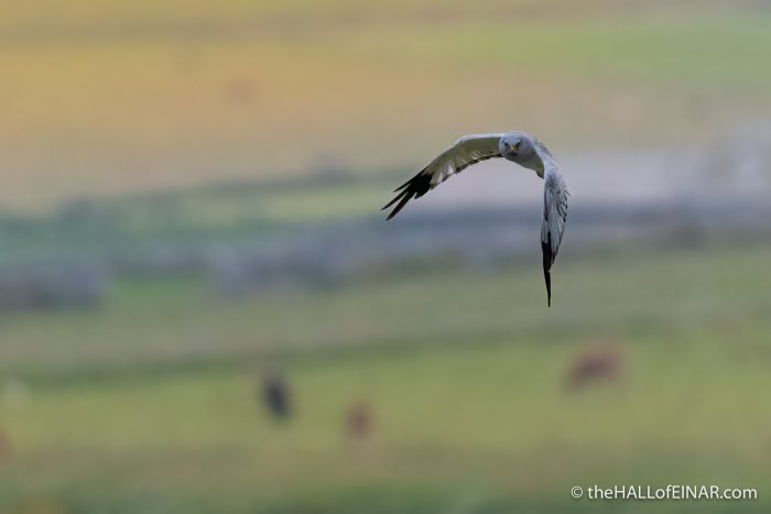 Male Hen Harrier - The Hall of Einar - photograph (c) David Bailey (not the)