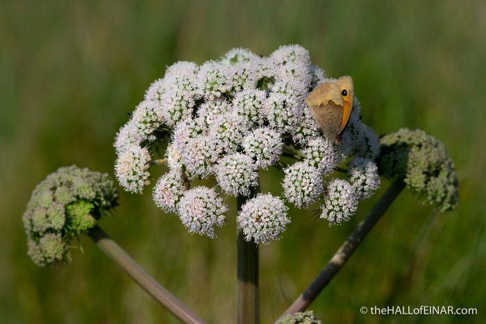 Meadow Brown on Angelica - The Hall of Einar - photograph (c) David Bailey (not the)