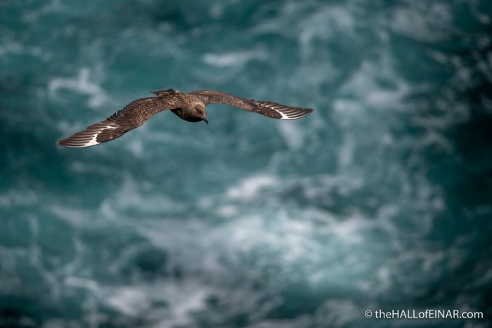 Great Skua - The Hall of Einar - photograph (c) David Bailey (not the)