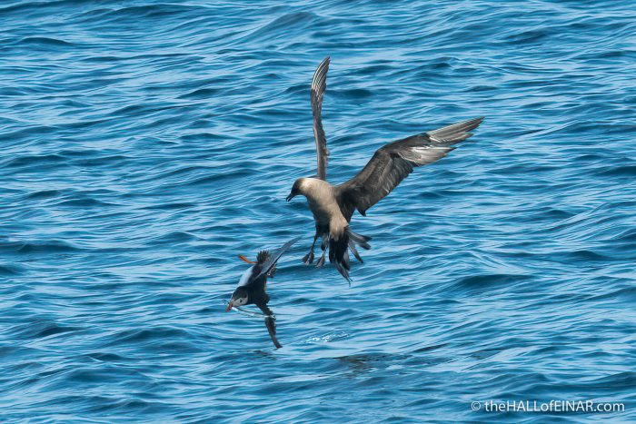 Puffin chased by Arctic Skua - The Hall of Einar - photograph (c) David Bailey (not the)