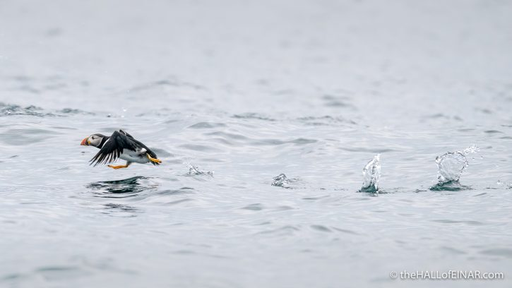 Puffin on the water - The Hall of Einar - photograph (c) David Bailey (not the)