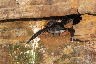 Puffling - The Hall of Einar - photograph (c) David Bailey (not the)