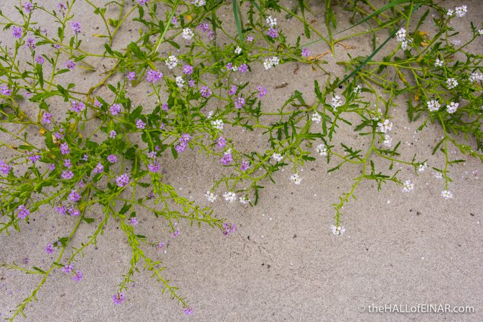 Sea Rocket at The Bay of Tafts - The Hall of Einar - photograph (c) David Bailey (not the)