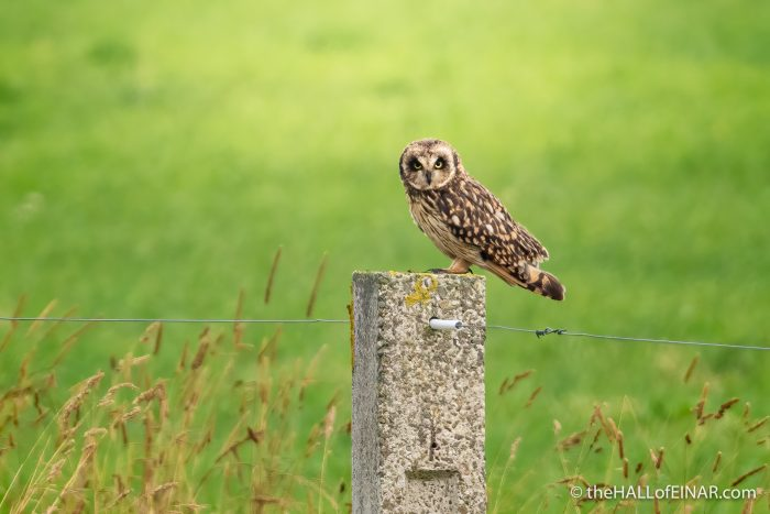 Short-Eared Owl - The Hall of Einar - photograph (c) David Bailey (not the)